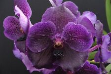 VANDA HYBRID ORCHID PLANT FLOWERING SIZE FOR HOME GARDEN AMZING BEAUTY