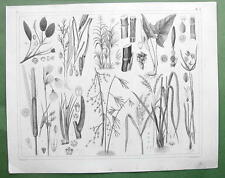 AQUATIC PLANTS Robin Bamboo Cane Rice Cattail Sweet Flag - 1844 Engraving Print