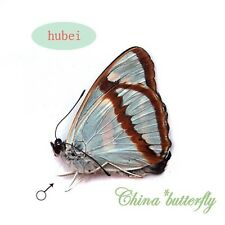 2 unmounted butterfly nymphalidae Mimathyma chevana A1-