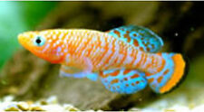 50 EGGS NOTHOBRANCHIUS RACHOVII BEIRA KILLIFISH KILLI EGG HATCHING TROPICAL FISH