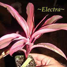 ~ELECTRA~ TI PLANT Cordyline terminalis BRIGHTLY COLORED Live Small Potted Plant