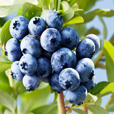 50Pcs Blueberry Tree Seed Fruit Blueberry Seed Potted Bonsai Seeds Plant L7