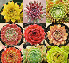 Home Garden Plant 40 Seeds Rare Sempervivum Mix Succulent Seeds