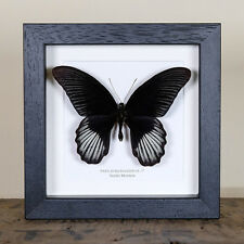 Male Scarlet Mormon in Box Frame (Papilio rumanzovia) Butterfly Frame