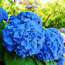 50pcs/bag Blue Hydrangea Flower Seeds Garden Ideal Potted Flower Plant Seeds