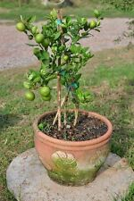 Dwarf Key Lime 10 Seeds Thai Organic Lemon Tree MEDICINAL Weight Loss