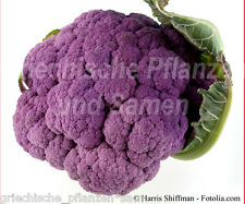 Blumenkohl Violetto 50 Seeds purple delicious exotic colourful fine vegetables
