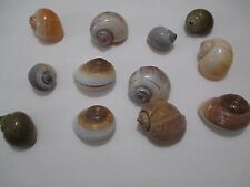 """Assorted Lot of 12 Polished 1 1/2""""- 2"""" Land Snail Shells Unknown Origin 035S10"""