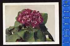 Cineraria, Sunflower Plant  - 1899 Nature Print Plus BONUS