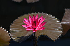 Nymphaea Red Flare RED NIGHT BLOOKING TROPICAL WATER LILY SEEDS