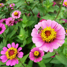 50 Pink Small Zinnia Seeds youth-and-old-age Ornamental Garden Flowers A035