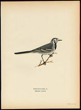 Antique Print-MOTACILLA ALBA-WHITE WAGTAIL-WINTER PLUMAGE-Von Wright-1917