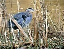 """Ron Parker """" Great Blue Heron """" # 88/950 ($500 Value) MINT W/CERT ((1988)) Rare"""