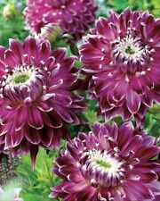 New Decorative Dahlia 'Vancouver' WPC Prins Quality Bulbs & Tubers