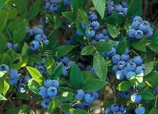 "Blueberry ""North Country"" High Bush live plant vaccinium"