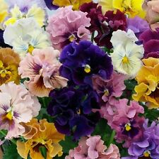 WINTER PANSY - PANSY SEEDS - ROCOCO MIX 100 SEEDS