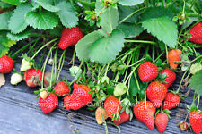 10 TRISTAR EVER BEARING STRAWBERRY PLANTS - Great for Hanging Baskets/Containers