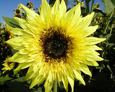15 Seeds Sunflower STARBURST LEMON ÉCLAIR . . . Frilly, Frizzy EARLY BLOOMS
