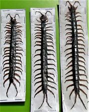 One Blue Ringleg or Red-headed Centipede Scolopendra morsitans FAST FROM USA