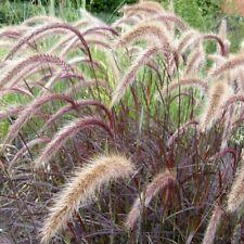 Rotes Lampenputzergras ( Pennisetum setaceum ' Rubrum ' )