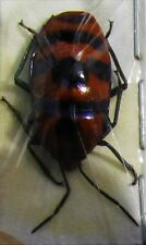 Lot of 25 Unusual Red & Black Eucorysses javanus True Insect FAST SHIP FROM USA