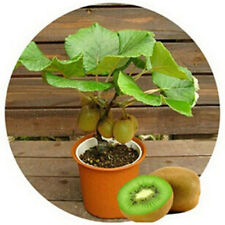 100pcs KIWI Seeds Healthy FRUIT Actinidia Vine Seeds Easy to Plant Lot Auction