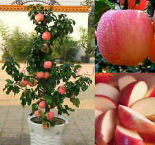 dwarf FUJI apple tree indoor or outdoor! sweet fruits SEEDS.