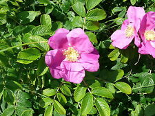 25 Common Wild Rose Hedging 2-3ft Plants,Keep Burglars Out! Rosa rugosa 60-90cm