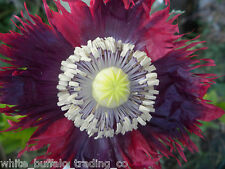 1 gram 1,000+ Purple-RED Frill Drama Queen Poppy Seeds Papaver somniferum India
