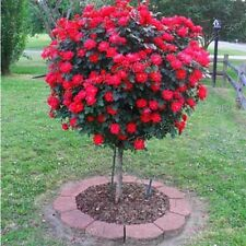 Climibing 50 Red Rose Flower Plant Seeds Beautiful garden bonsai rare
