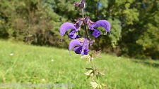 """Wiesen-Salbei Salvia pratensis 50 Samen """"ALLES NUR 1 EURO"""""""