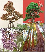 ** BONSAI TREE Seeds PACK ** Trident Juniper Redwood Empress **