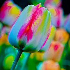 5Pc/Lot Rare Colorful Rainbow Tulip Bulbs The Most Beautiful Flower Plant Seed