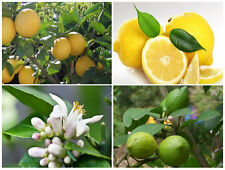 Lemon Tree seeds - continuous carpophores year round / 10 fresh seeds