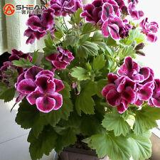 20pcs Maple Leaf Geranium Flower Seeds Pelargonium Domesticum plant garden