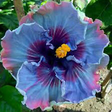 """100 Seeds Local Farmer """"Giant Hibiscus Exotic Coral Flowers """"Mix Rare Blue Color"""