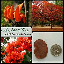 3 FLAME of the FOREST Tree SEEDS (Butea monosperma) RARE Indian Hindu Sacred