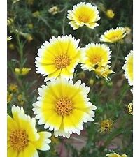 FD1664 Egg Flower Seed Layia Hot Rare Seeds ~1 Pack 30 Seeds ~ G