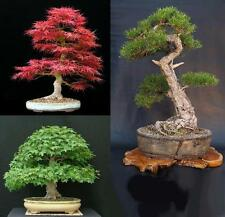 SEMI BONSAI - PINO NERO - ACERO GIAPPONESE - ACERO TRIDENTE - BONSAI SEEDS