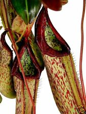 PITCHER PLANT Carnivorous! Hanging Rare Exotic. Eats Insects 15 Seeds