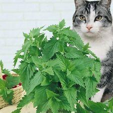 Para tu gato CATNIP, nepeta cataria 1200 semillas seeds