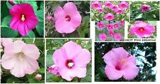 Hibiscus Perennial Hardy Flower All Mixed Colors in one Pack Over 25 Seeds