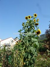 Russian Giant Sunflower, TITAN, up to 5 meter, 20 seeds