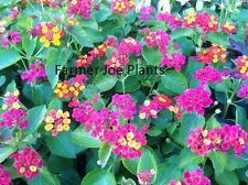 "LANTANA - IRENE - TALL GROUND COVER  - MULTI COLOR - 3 PLANTS - 3"" POTS"