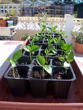 little lemon trees 3 healty little plants / seedlings from our garden in spain