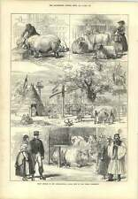1873 Prize Animals International Cattle Show Vienna Exhibition Oxen Sheep