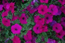 ~  Tidal Wave PURPLE  *  Trailing Petunia *  20 Pelleted Seeds
