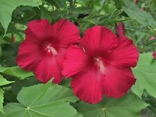 Hardy Hibiscus 'Lord Baltimore' (Hibiscus moscheutos) 20 seeds 2016