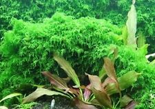 Xmas Moss - Live Aquairum Plant for Java Moss FishTank