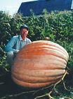 Pumpkin Seeds - DILL'S ATLANTIC GIANT Monster Pumpkin!!! - Can Grow to 1600 lbs.